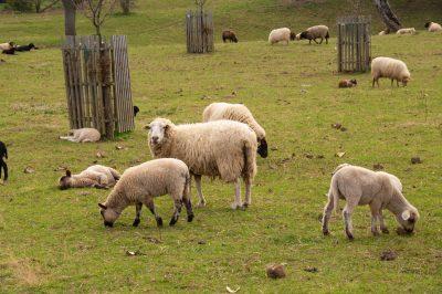 Schafwolle ein nachwachsendes Naturprodukt