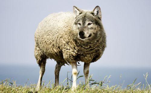 Wolfer Woolpicker im Schafskleid
