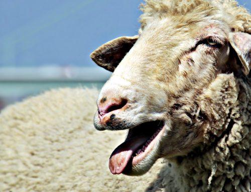 Das Schaf kann es besser…
